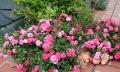 Půdopokryvné růže