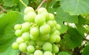 Kdy stříhat hroznové víno