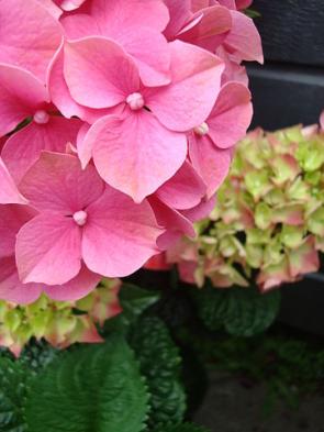 Hortenzie velkolistá - pěstování venku