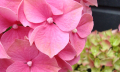 Stříhání květů hortenzií
