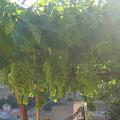Jak pěstovat vinnou révu