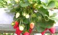Převislé jahody
